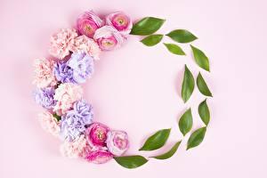 Pictures Rose Carnations Leaf Pink background