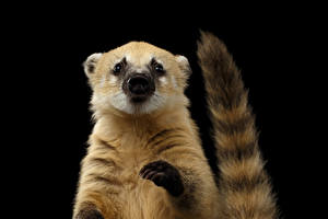 Wallpapers Black background Tail Paws South American coati animal