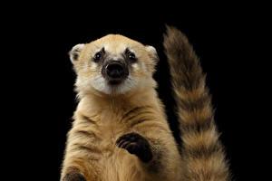 Bilder Schwarzer Hintergrund Schwanz Pfote South American coati ein Tier