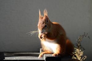 Fotos Eichhörnchen Schnurrhaare Vibrisse Tiere