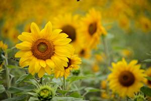 Pictures Sunflowers Bokeh Yellow flower