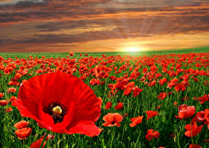 Desktop wallpapers Sunrises and sunsets Fields Poppies Many Red Nature Flowers