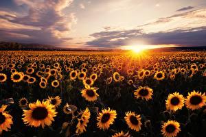Hintergrundbilder Sonnenaufgänge und Sonnenuntergänge Felder Sonnenblumen Viel Lichtstrahl Sonne
