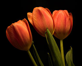 Image Tulips Closeup Black background Three 3 Orange Flowers