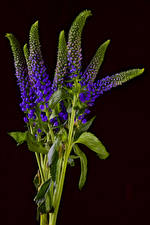 Image Black background Branches Violet Veronica Flowers