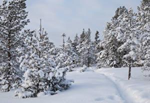 Papéis de parede Invierno Florestas Neve Picea árvores Trilha Naturaleza imagens