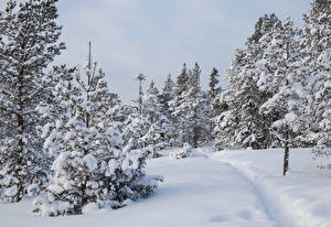 Pictures Winter Forests Snow Spruce Trees Trail