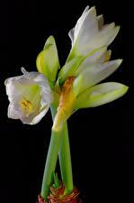 Image Amaryllis Closeup Black background White flower