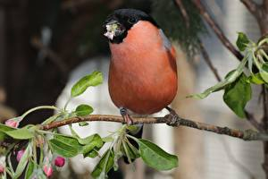 Wallpaper Bird Bullfinch Blurred background Branches Leaf