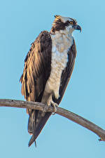 Wallpapers Birds Colored background Branches Osprey