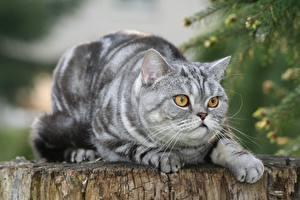 Bilder Britisch Kurzhaar Katze Blick Liegt Unscharfer Hintergrund Pfote
