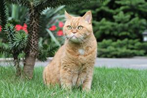 Picture British Shorthair Cat Grass Sit Ginger color Staring