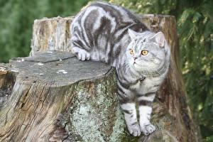 Picture Cats British Shorthair Tree stump Glance