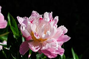 Wallpaper Closeup Peony Pink color Flowers