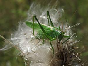 Fotos Heuschrecken Insekten Großansicht Grün Tiere