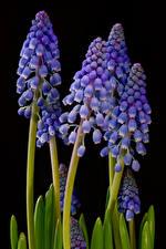 Image Hyacinths Closeup Black background Flowers