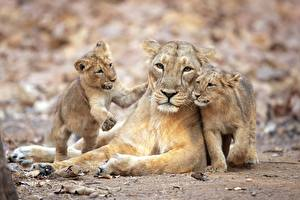 Wallpapers Lioness Lions Cubs Three 3 animal