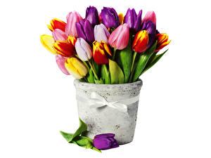 Bilder Tulpen Sträuße Bunte Band Schleife Weißer hintergrund Blumen
