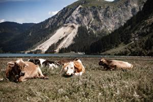 Fonds d'écran Autriche Montagnes Vache Alpes Herbe Etre couché Tyrol Animaux images