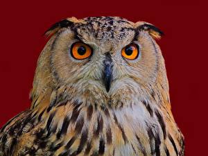 Pictures Bird Eurasian eagle-owl Colored background Snout Beak Eagle Owl Animals