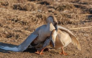 Image Birds Goose Blurred background Two Animals