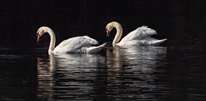 Bureaubladachtergronden Vogels Zwanen Twee 2 Dieren
