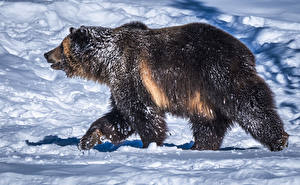 Pictures Bear Grizzly Snow Side