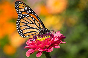 Picture Butterfly Insects Monarch butterfly Bokeh Animals