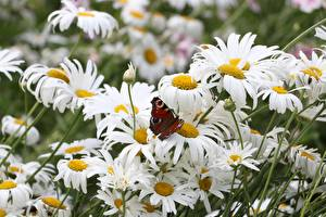 Photo Matricaria Insects Butterflies Flowers