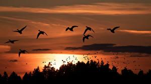 Bakgrundsbilder på skrivbordet Kanada Fågel Soluppgångar och solnedgångar Silhuett Natur