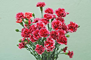 Images Carnations Bouquets Colored background Red Flowers