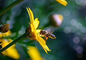 Wallpapers Closeup Bees Insects Blurred background Yellow animal