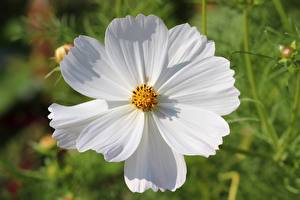 Image Closeup Cosmos plant Blurred background White flower