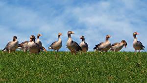 Desktop wallpapers Duck Many Grass Animals