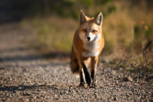 Wallpapers Foxes Blurred background Glance animal