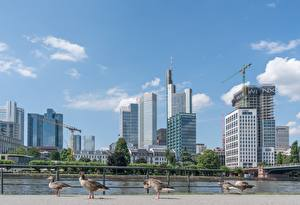 Desktop wallpapers Germany Skyscrapers Frankfurt Birds Goose Rivers Cities