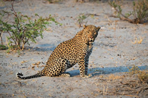 Pictures Leopards Sitting Glance
