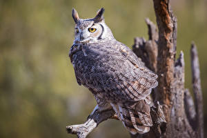 Desktop hintergrundbilder Eulen Vogel Bokeh great horned owl ein Tier