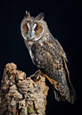 Bakgrundsbilder på skrivbordet Ugglefåglar Fåglar Svart bakgrund long-eared owl