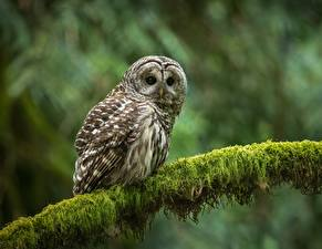 Pictures Owls Birds Branches Glance strix varia Animals