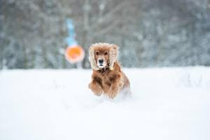 Image Winter Dogs Bokeh Snow Running Spaniel