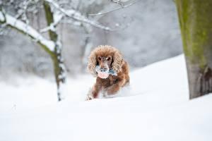 Images Winter Dog Snow Running Spaniel Bokeh