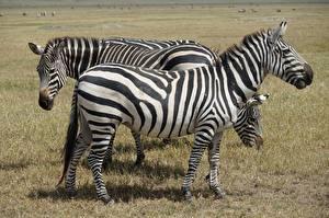 Images Zebra Grass Side Stripes