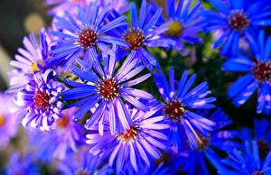Image Asters Many Closeup Blue Flowers