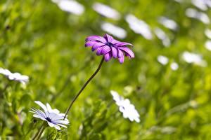 Wallpapers Bellis Blurred background Violet flower