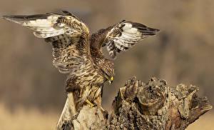 Fonds d'écran Oiseau Buse Aile Animaux