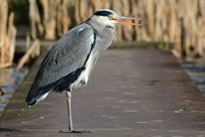 Wallpapers Birds Herons Side Bokeh Grey Heron