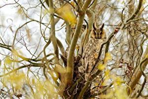 Pictures Bird Owl Blurred background Branches Big-eared Owl Animals