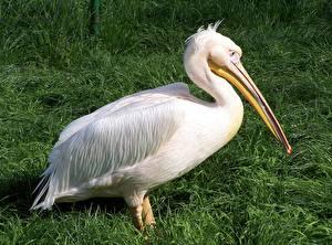 Pictures Birds Pelicans Side White Grass Beak animal
