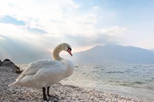 Sfondi desktop Uccello Cigno Pietre Bianco Accanto animale